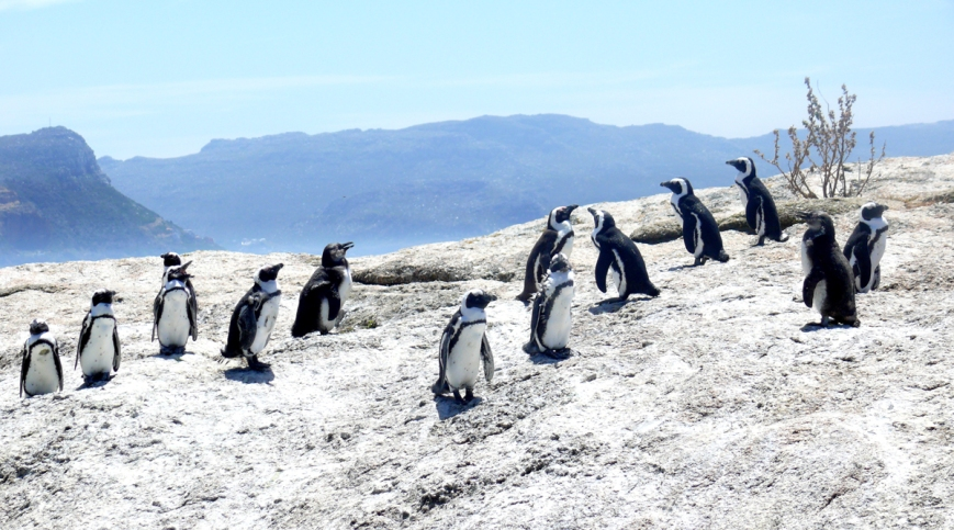 penguins boulders beach cape town town africa