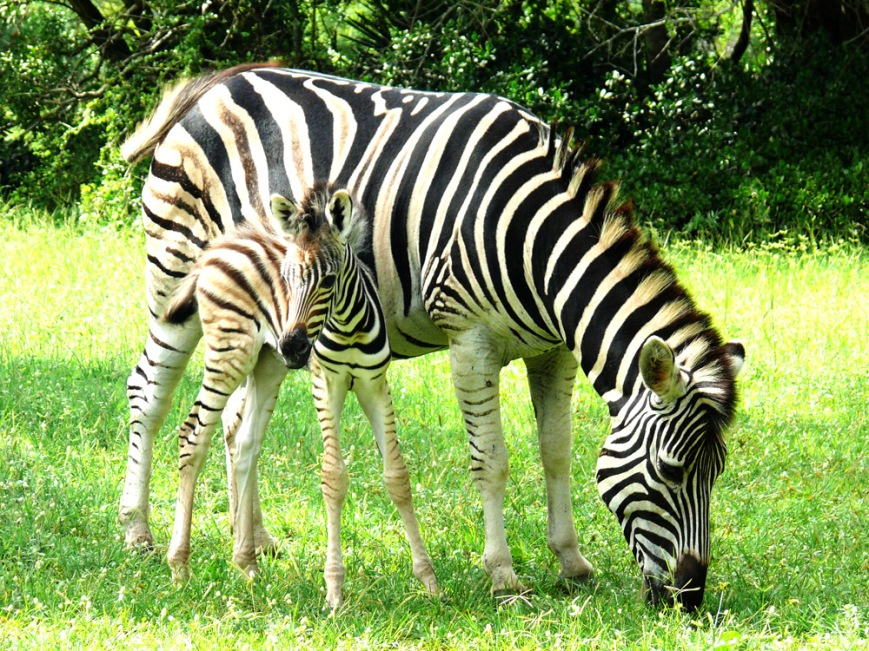 Safari Zebra South Africa
